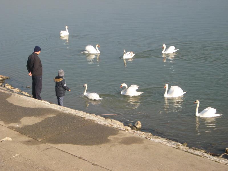 Oktet labudova na Tisi kod Bečeja | Foto: Vlastimir Jankov