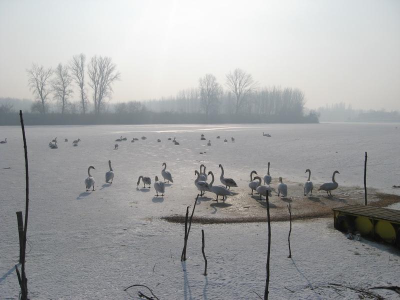 Labudovi su ostali bez vode, ali nisu i bez hrane | Foto: Vlastimir Jankov