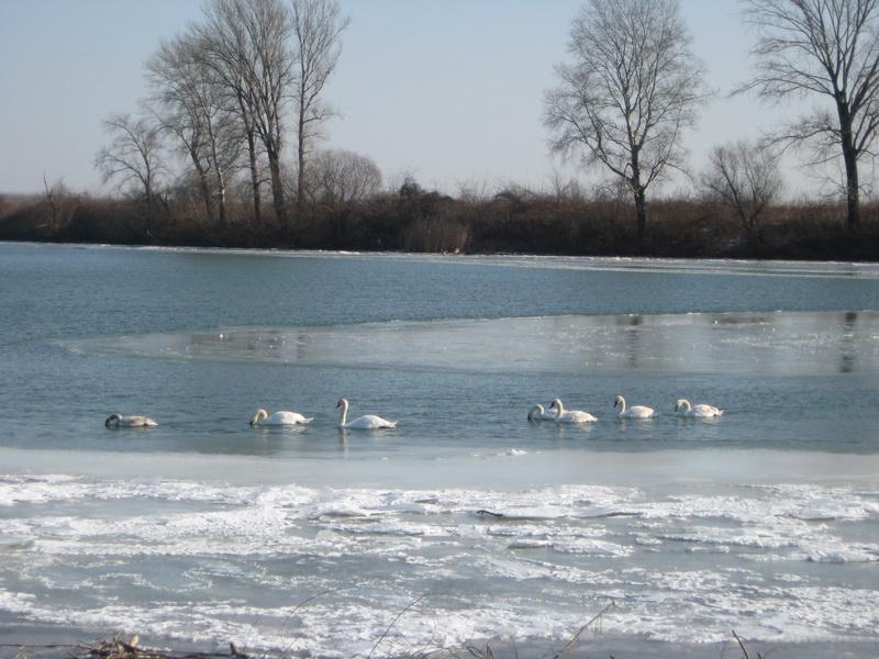 Zimska idila na Tisi u Bečeju