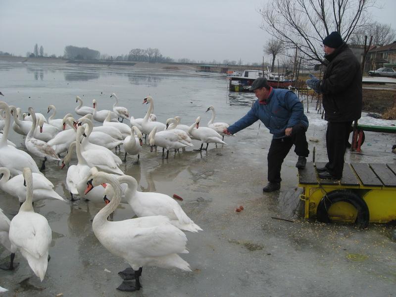 Miljan Jovanović, na ledu, i Milan Bukvički Butija se svakodnevno druže s labudovima | Foto: Vlastimir Jankov
