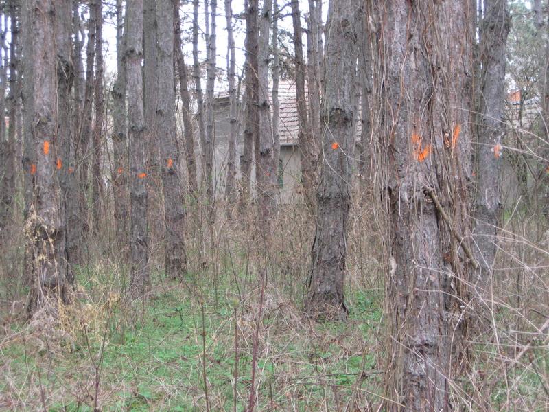 Obeležena su drva koja treba ukloniti | Foto: Vlastimir Jankov