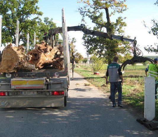 Odnose se posečena stabla hrasta lužnjaka, a na njihova mesta će se zasaditi nova