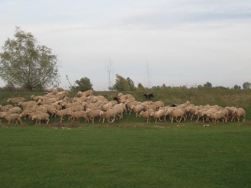 Traktori preorali pašnjake i oterali ovce u Banat | Foto: Vlastimir Jankov