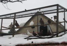 Kavez sa izloženim bačkim pismonošama | Foto: Vlastimir Jankov