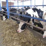 Visokomlečne krave holštajn rase imaju optimane uslove na farmi Džigurski | Foto: Vlastimir Jankov