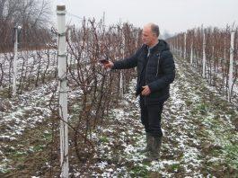 Tomislav Varečka je na Svetog Trifuna izašao u vinograd i simbolično orezeo i vinom zalio čokot vinove loze | Foto: Vlastimir Jankov