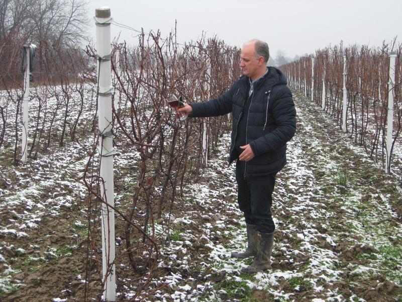 Tomislav Varečka je na Svetog Trifuna izašao u vinograd i simbolično orezeo i vinom zalio čokot vinove loze   Foto: Vlastimir Jankov