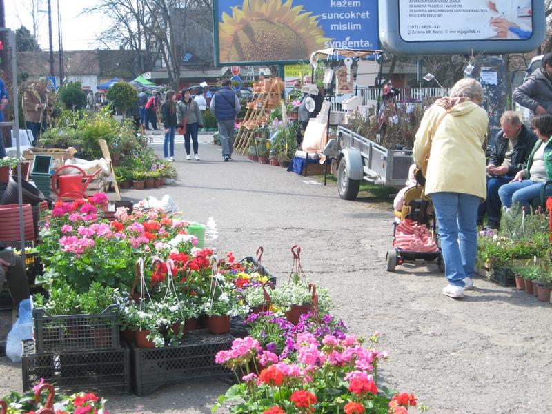 Širok izbor cveća na bečejskoj Prolećnoj cvetnoj pijaci | Foto: Vlastimir Jankov