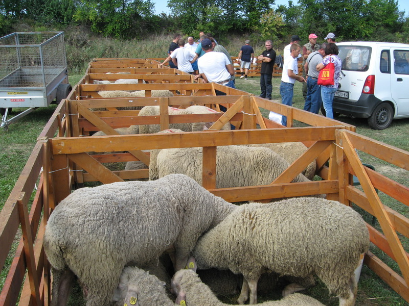 Ove godine je 85 ovaca bilo na izložbi | Foto: Vlastimir Jankov