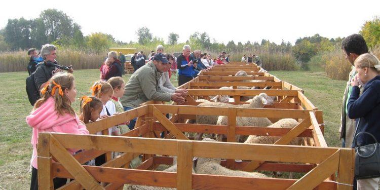 Sa lanjske ozložbe ovaca u Bačkom Petrovom Selu | Foto: Vlastimir Jankov