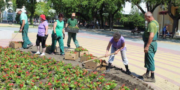 "Komunalci su promenili cvetni aranžman za festival ""Bečej noću"" | Foto: Vlastimir Jankov"